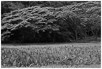 Taro field and forest, Waipio Valley. Big Island, Hawaii, USA (black and white)