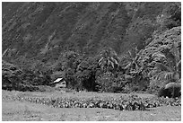 Taro farm, Waipio Valley. Big Island, Hawaii, USA (black and white)