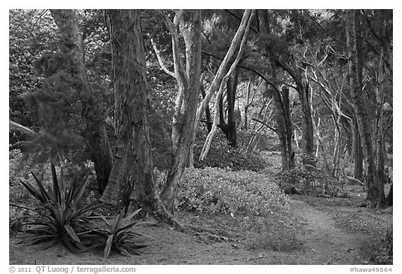 Coastal forest,  Waipio Valley. Big Island, Hawaii, USA (black and white)