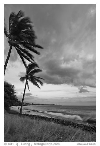 Palm trees on beach sway in breeze at sunset. Lahaina, Maui, Hawaii, USA (black and white)