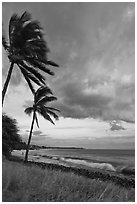 Palm trees on beach sway in breeze at sunset. Lahaina, Maui, Hawaii, USA ( black and white)