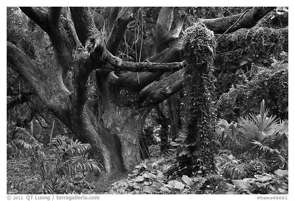 Trees in rainforest. Maui, Hawaii, USA (black and white)