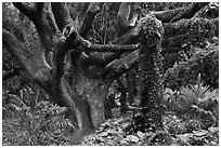 Trees in rainforest. Maui, Hawaii, USA ( black and white)