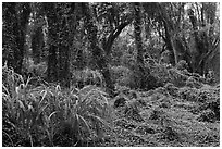 Jungle forest. Maui, Hawaii, USA ( black and white)