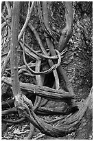 Lianas and tree trunk. Maui, Hawaii, USA ( black and white)