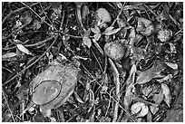Fallen tropical fruits. Maui, Hawaii, USA ( black and white)