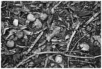 Forest floor close-up with fallen fruits. Maui, Hawaii, USA ( black and white)