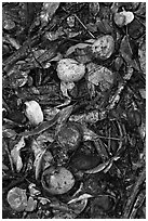 Fallen guava fruits. Maui, Hawaii, USA (black and white)