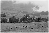 High country pastures with cows. Maui, Hawaii, USA ( black and white)