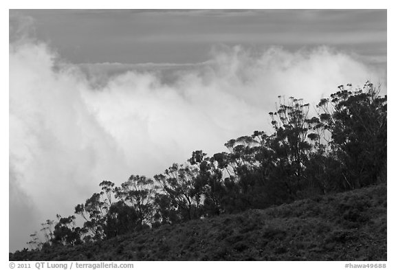 Row of trees above clouds. Maui, Hawaii, USA (black and white)