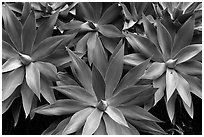 Cluster of agaves. Maui, Hawaii, USA ( black and white)