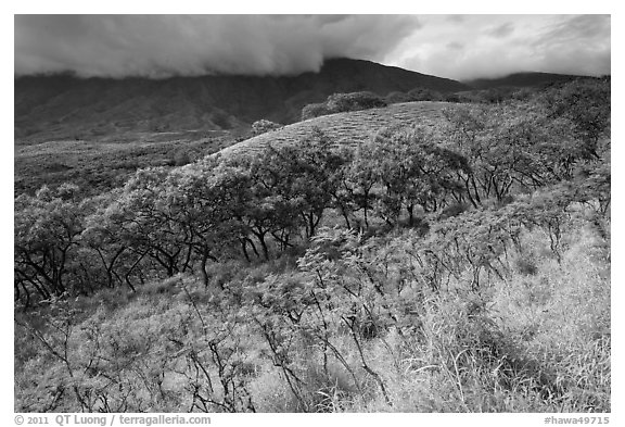 Dryland vegetation on hillside. Maui, Hawaii, USA (black and white)