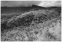 Dryland vegetation on hillside. Maui, Hawaii, USA ( black and white)