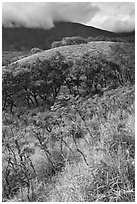 Shrubs and trees on hillside near Kaupo. Maui, Hawaii, USA ( black and white)