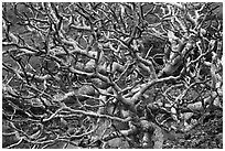 Bare twisted and ramified tree branches. Maui, Hawaii, USA ( black and white)