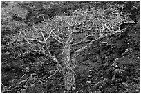 Hawaiian tree and lava rock. Maui, Hawaii, USA (black and white)