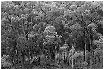 Eucalyptus forest. Maui, Hawaii, USA ( black and white)