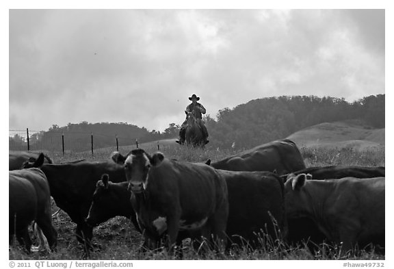 Paniolo cowboy overlooking cattle. Maui, Hawaii, USA