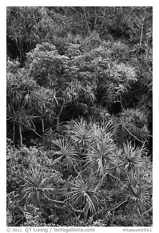 Pandanus trees on slope. Kauai island, Hawaii, USA (black and white)