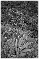 Orchid, Kalalau trail. Kauai island, Hawaii, USA ( black and white)