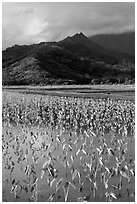 Taro paddy field and mountains, Hanalei Valley. Kauai island, Hawaii, USA (black and white)
