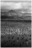 Mountains reflected in paddy fields with taro, Hanalei Valley. Kauai island, Hawaii, USA (black and white)