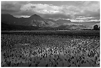 Taro fields reflections, Hanalei Valley. Kauai island, Hawaii, USA (black and white)