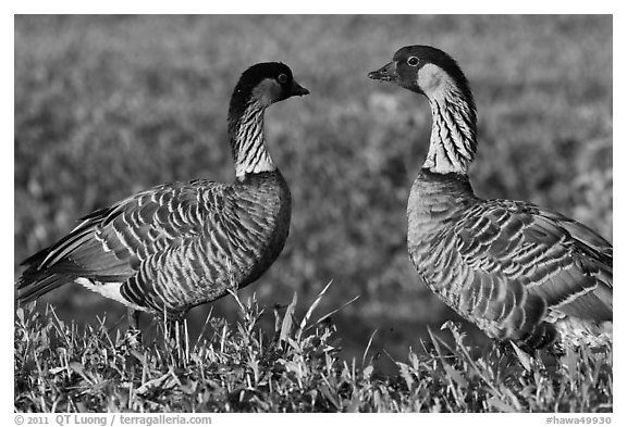 Hawaiian Geese, Hanalei National Wildlife Refuge. Kauai island, Hawaii, USA (black and white)