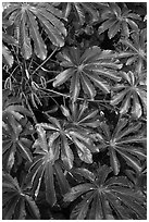 Trumpet tree (Cecropia obtusifolia) leaves. North shore, Kauai island, Hawaii, USA (black and white)