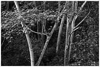 White Siris trees. North shore, Kauai island, Hawaii, USA (black and white)