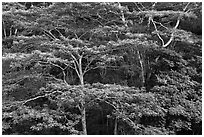 White Siris branches and leaves. Kauai island, Hawaii, USA (black and white)