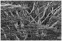 Branches of White Siris (Albizia falcataria). Kauai island, Hawaii, USA ( black and white)