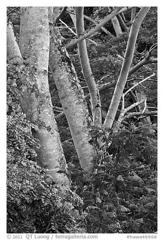 African tulip tree (pathodea campanulata). Kauai island, Hawaii, USA (black and white)