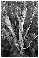 White Siris tree (Albizia falcataria). Kauai island, Hawaii, USA ( black and white)