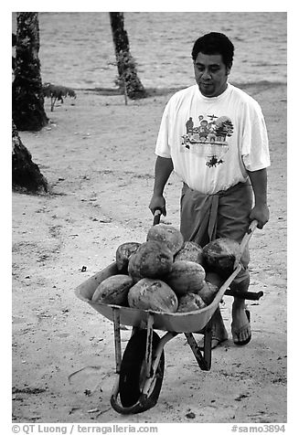 Villager carying coconuts in a wheelbarel. Tutuila, American Samoa