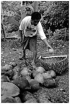 Villager throwing a pealed coconut into a basket made out of a single palm leaf. Tutuila, American Samoa (black and white)