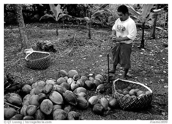 Villager collecting coconuts into a basket made out of a single palm leaf. Tutuila, American Samoa (black and white)