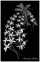Aerangis stylosa. A species orchid (black and white)