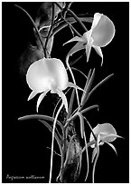 Angraecum scottianum. A species orchid (black and white)