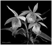 Barkeria spectabilis. A species orchid (black and white)
