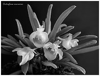 Centroglossa macroceras. A species orchid (black and white)