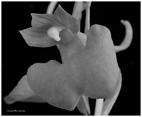 Studarettia speciosa. A species orchid (black and white)