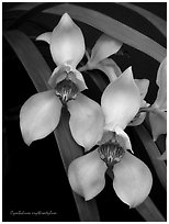 Cymbidium erythrostylum. A species orchid (black and white)