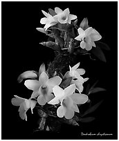 Dendrobium chrystianum. A species orchid (black and white)