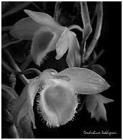 Dendrobium loddigessii. A species orchid (black and white)