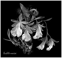 Euchile mariae. A species orchid (black and white)