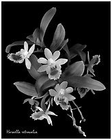 Haraella retrocalca. A species orchid (black and white)