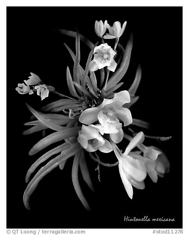 Hintonella mexicana. A species orchid (black and white)