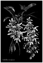 Inobulbon munificum. A species orchid (black and white)