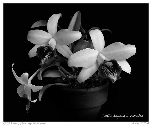 Laelia dayana v. coerulea. A species orchid (black and white)